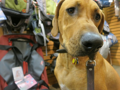 pet adventure, rhodesian ridgeback