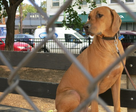 rhodesian ridgeback, pet friendly place
