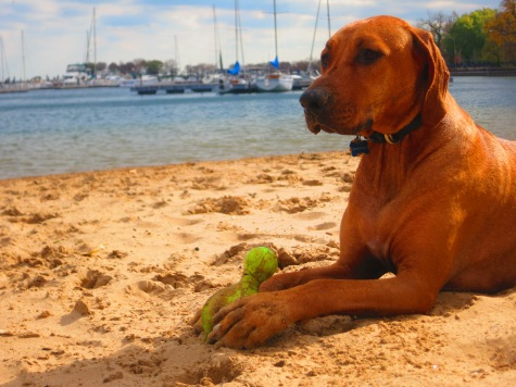 rhodesian ridgeback, dog blog, pet blog