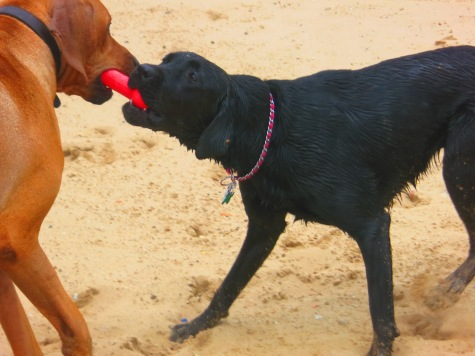 rhodesian ridgeback, pet adventure, dog blog