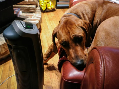 Rhodesian Ridgeback, pet blog