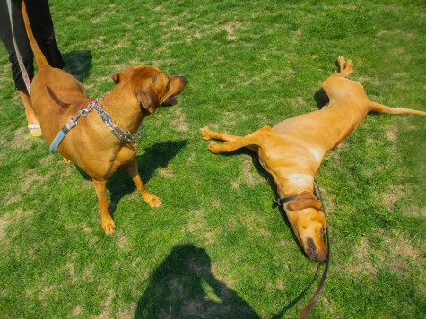 Rhodesian Ridgeback photos, pet adventure, dog blog
