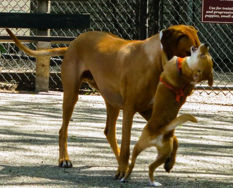 Rhodesian Ridgeback photo, pet adventure, dog blog, chicago, petcentric, dog beach