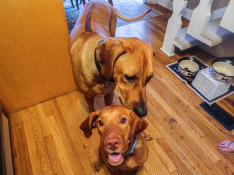 Marking Our Territory, Rhodesian Ridgeback, pet adventure, dog blog, pet photos, things to do with your dog