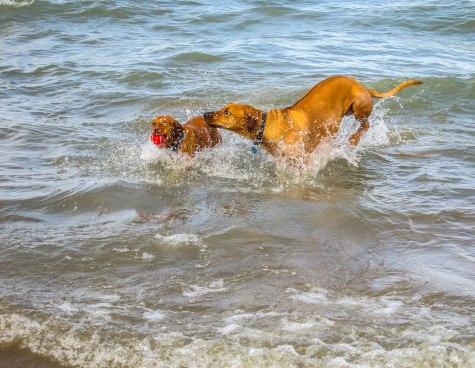 Rhodesian Ridgeback, pet adventure, marking our territory, dog blog,