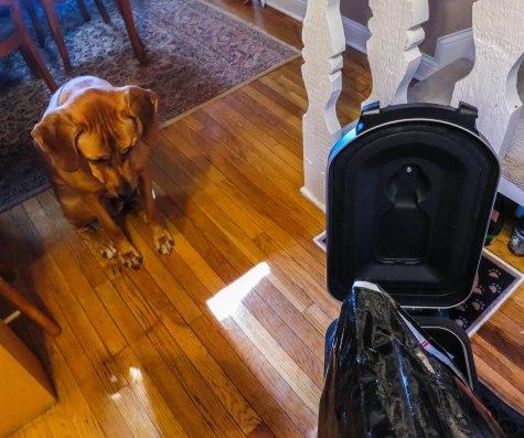 Rhodesian Ridgeback, pet adventure, marking our territory, petcentric, dog blog, pet blog, pet photos