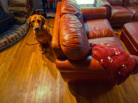 Rhodesian Ridgeback, Rhodesian Ridgeback photos, marking our territory, dog blog, dog adventure, pet adventure, petcentric, dog loves couch, funny