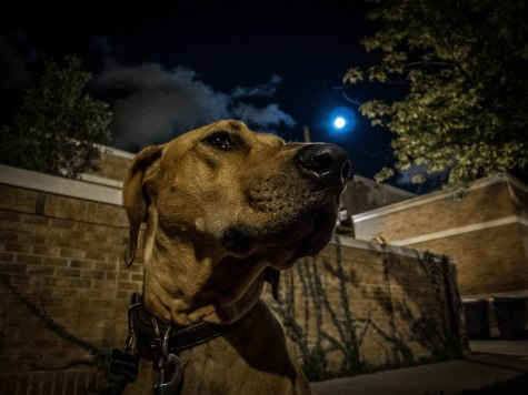 Rhodesian Ridgeback, dog adventure, marking our territory, petcentric, rhodesian ridgeback photos