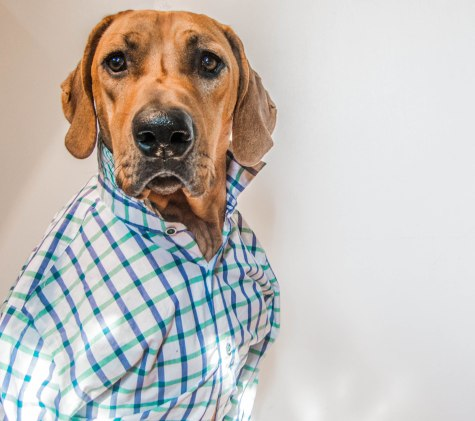 Rhodesian Ridgeback, dog model