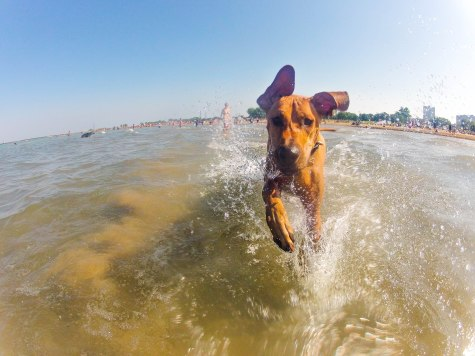 Rhodesian Ridgeback, dog adventure, Rhodesian Ridgeback photos, traveling with your dog, dog beach, dog park