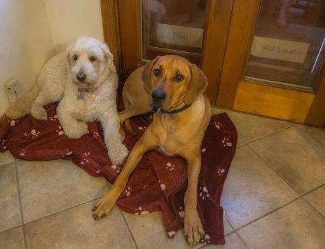 Rhodesian Ridgeback, dog adventure, dog blog, pet photos. dog photos, puppy photos