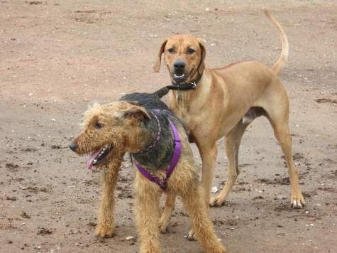 Rhodesian Ridgeback, adventure, dogs, marking our territory, petcentric, pet-friendly