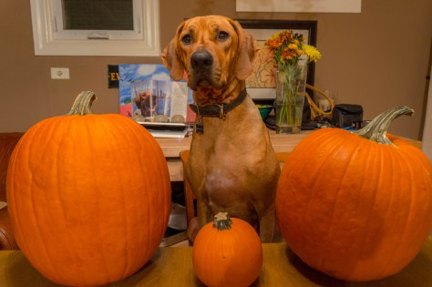 Rhodesian Ridgeback, adventure, pumpkin, dogs, marking our territory, chicago