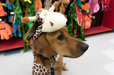 Rhodesian Ridgeback, adventure, dogs, marking our territory, halloween