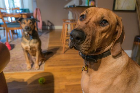 Rhodesian Ridgeback, dogs, adventure, chicago, dog friendly, pet friendly, marking our territory, petcentric, eko