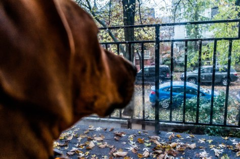 Rhodesian Ridgeback, adventure, dogs, marking our territory, chicago, photos, winter, dog