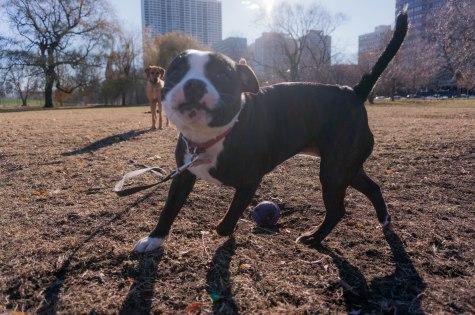 Rhodesian Ridgeback, dog blog, adventure, marking our territory, chicago, dogs, dog friendly