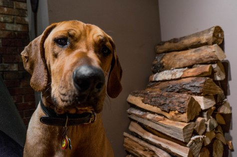 Rhodesian Ridgeback, dog blog, pet adventure, dogs, marking our territory, adventure, pet-friendly