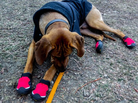 Rhodesian Ridgeback, adventure, dog blog, dogs, photos, pets, adventure, chicago, winter, dog boots