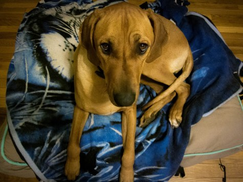 Rhodesian Ridgeback, dogs, puppies, dog blog, pet friendly, adventure, marking our territory