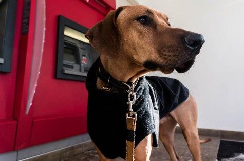 Rhodesian Ridgeback, dog blog, dogs, chicago, adventure, marking our territory, pet blog