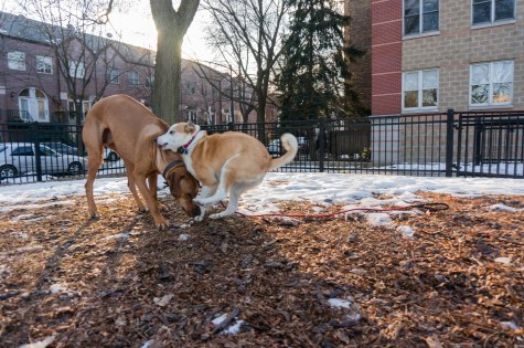 Rhodesian Ridgeback, marking our territory, adventure, dog blog, dogs, chicago