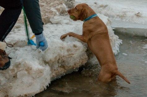 Rhodesian Ridgeback, dog blog, dogs, adventure, marking our territory, chicago, dog park