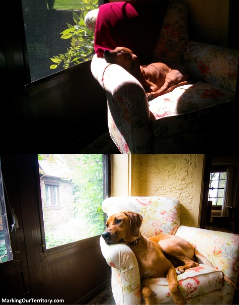 Rhodesian Ridgeback, adventure, chicago, dogs, marking our territroy