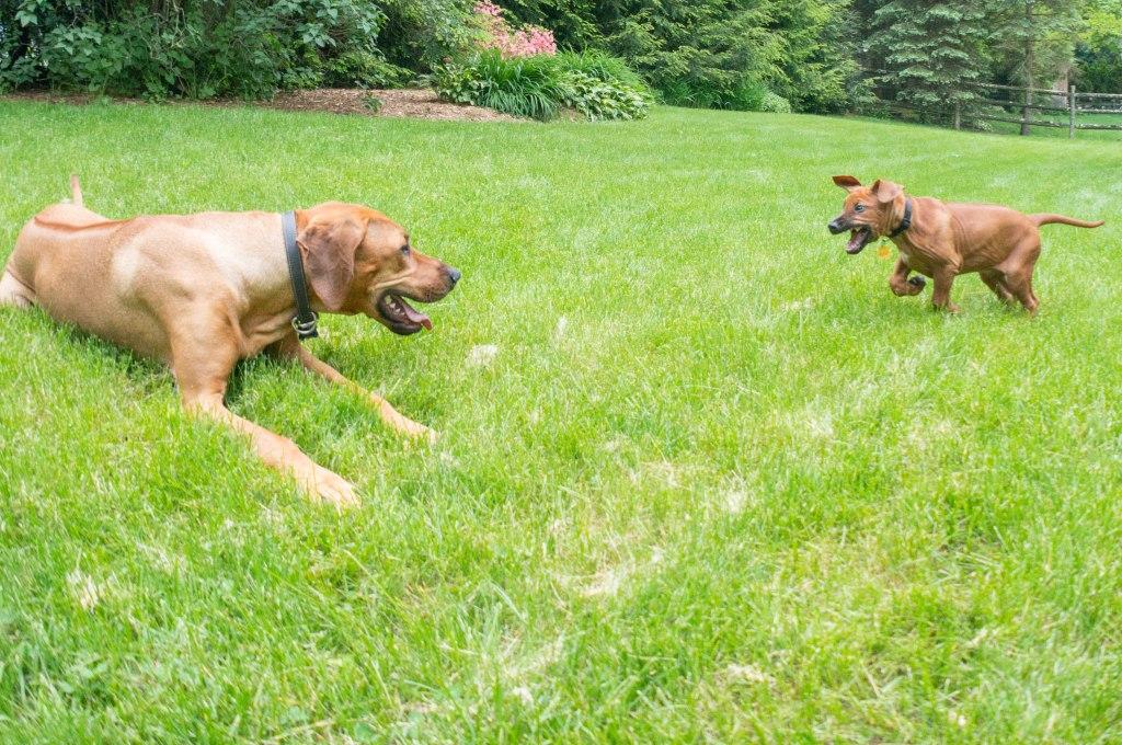 Rhodesian Ridgeback, puppy, adventure, marking our territory, pet-friendly, blog
