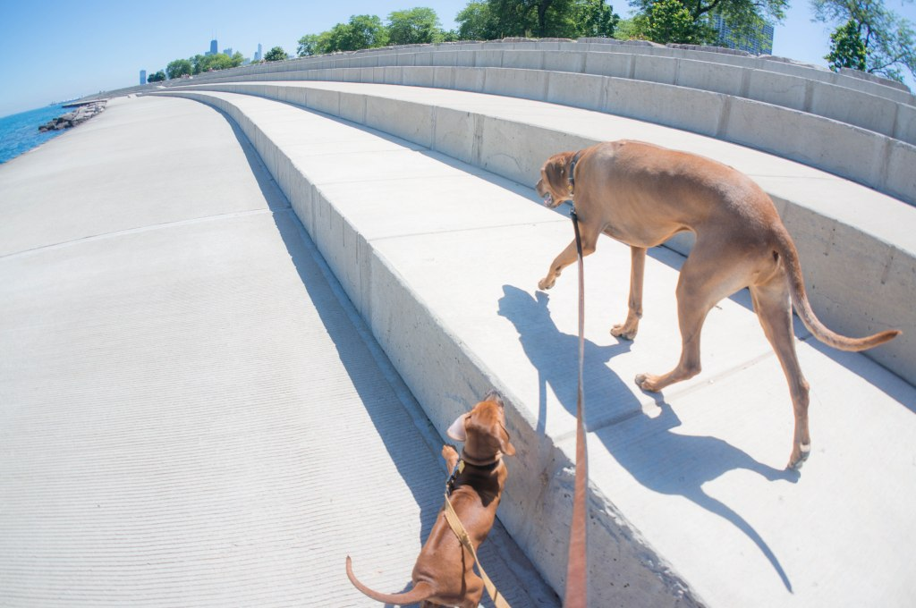 Rhodesian Ridgeback, puppy, chicago, marking our territory, adventure, dogs