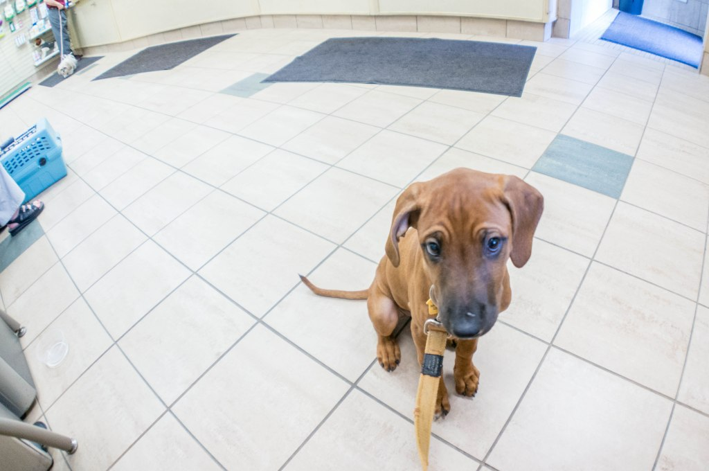 Rhodesian Ridgeback puppy, marking our territory, dogs, blog, adveture