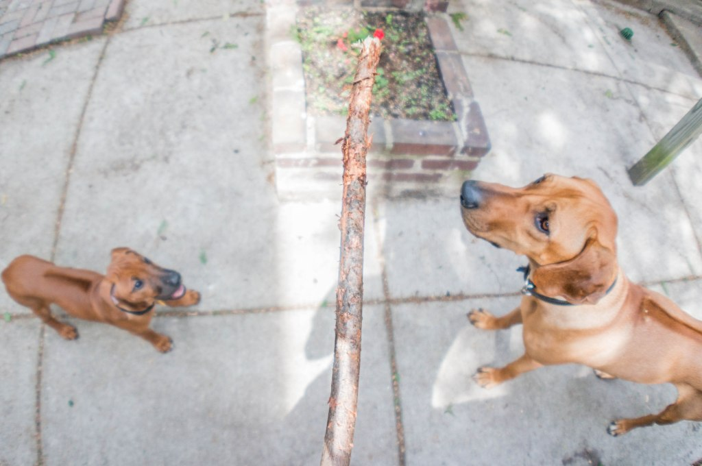 Rhodesian Ridgeback, puppy, marking our territory, blog, adventure, chicago, dogs