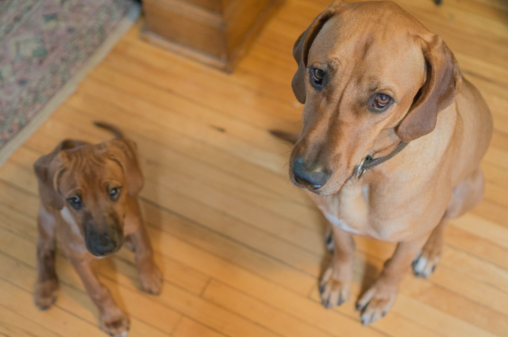 Rhodesian RIdgeback, puppy, adventure, marking our territory, chicago