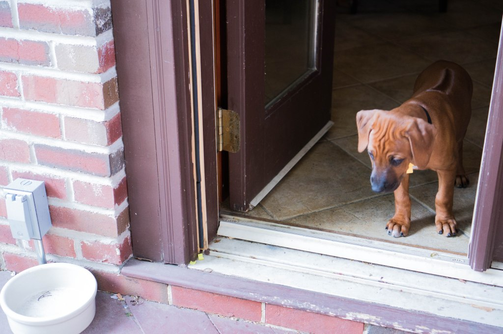 Rhodesian Ridgeback, puppy, adventure, marking our territory