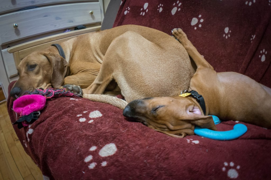 Rhodesian Ridgeback puppy, funny, sleepy, dogs, adventure, marking our territory