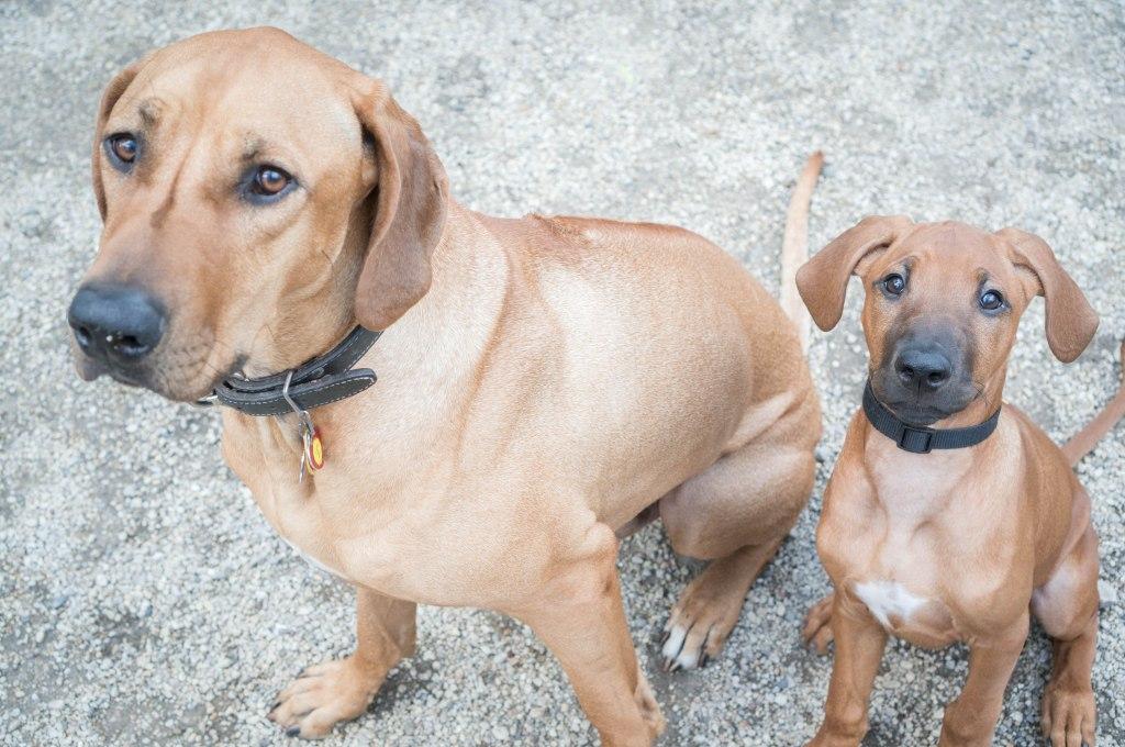 Rhodesian Ridgeback, puppy, dogs, adventure, marking our territory, blog