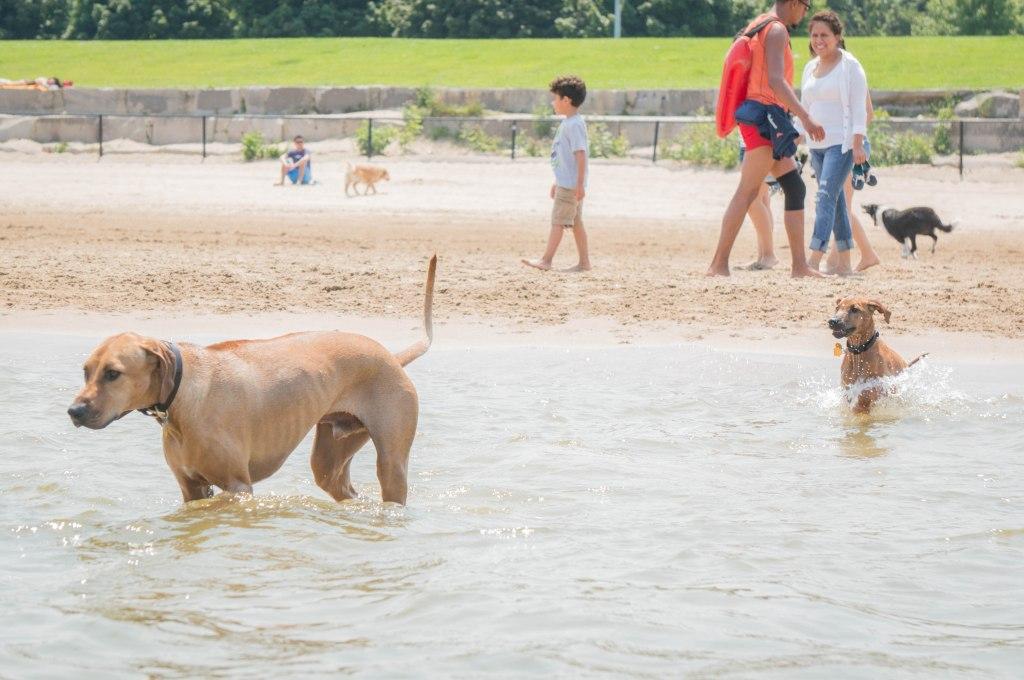 Rhodesian Ridgeback, puppy, dog beach, dog friendly beach, chicago, montrose beach. adventure, marking our territory
