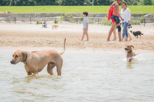 Rhodesian Ridgeback, puppy, dog beach, dog friendly beach, chicago, montrose beach. adventure, marking our territory