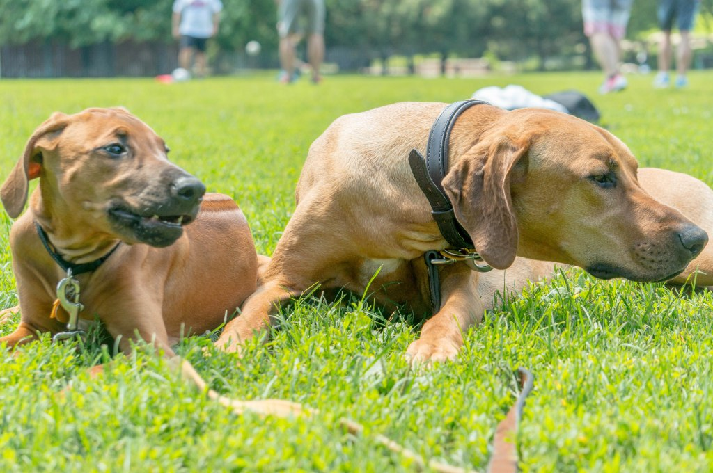 Rhodesian RIdgeback, puppy, adventure, chicago, marking our territory