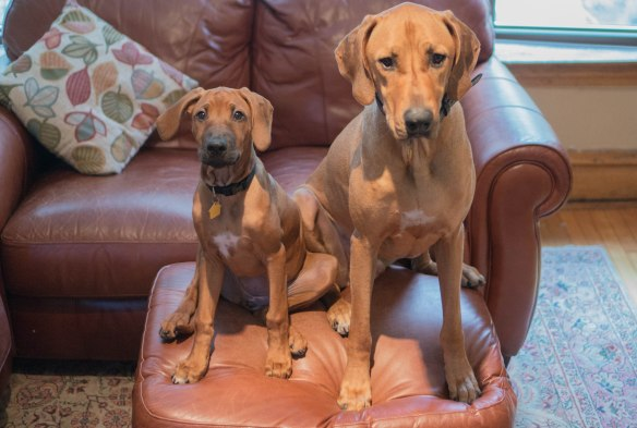 Rhodesian Ridgeback, puppy, photo, adventure, marking our territory, dog blog,