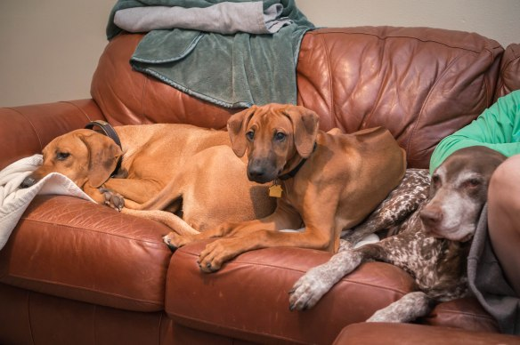 Rhodesian Ridgeback, puppy, dogs, marking our territory, blog
