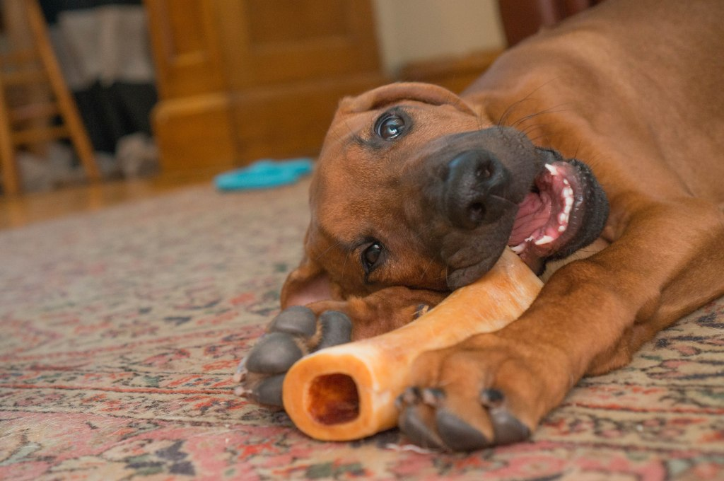 Rhodesian Ridgeback, puppy, teething, chicago, marking our territory