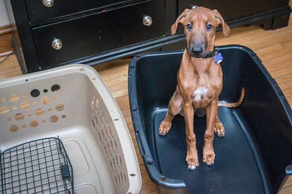 Rhodesian Ridgeback puppy, adventure, marking our territory, blog, dogs, photo