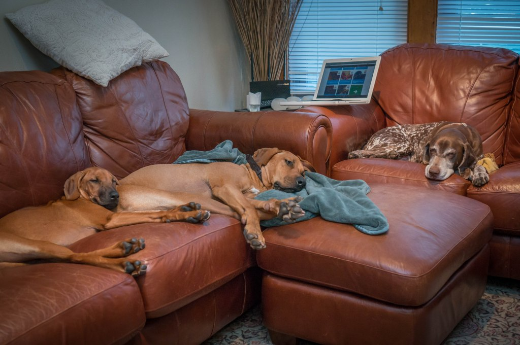 Rhodesian Ridgeback, puppy, adventure, marking our territory, dogs, chicago