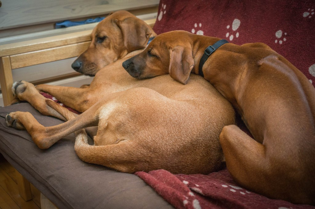 Rhodesian RIdgeback, puppy, photo, adventure, dogs, marking our territory