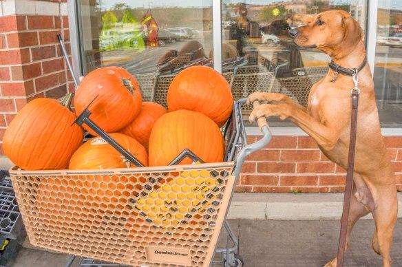 Dog, pumpkin, carving ,funny