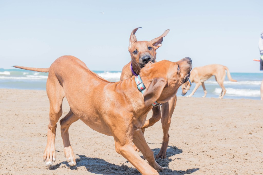 Rhodesian Ridgeback, puppy, chicago, adventure, dog beach, marking our territory
