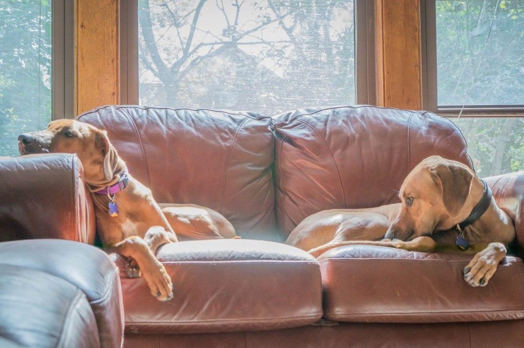 Rhodesian Ridgeback, puppy, blog, marking our territory, adventure