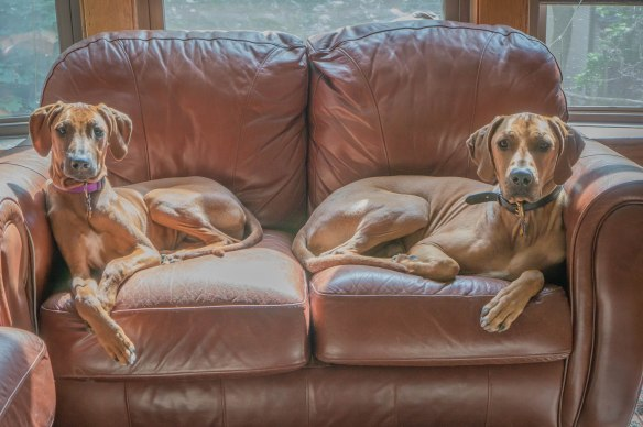 Rhodesian Ridgeback, puppy, blog, marking our territory, adventure