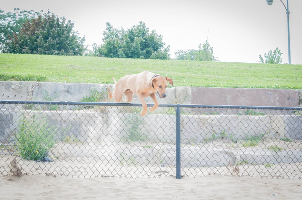 Rhodesian Ridgeback, puppy, adventure, dog, blog, chicago, beach, marking our territory